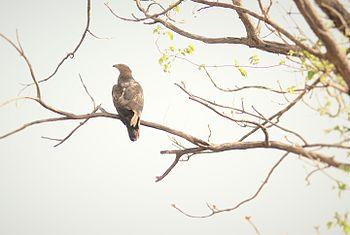 Pernis ptilorhynchus, Tadoba Andhari reserve.jpg