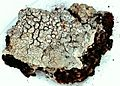 Pertusaria velata-5.jpg