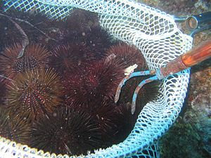 Sea hurchin fishing in Alghero Sardinia Italia...