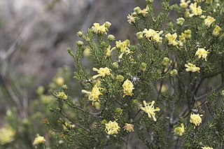 <i>Petrophile ericifolia</i> Species of shrub endemic to Western Australia
