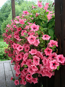 Petunias for Window Boxes Flowers
