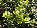 Peumus boldus leaf2.jpg