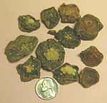 """Dried Lophophora williamsii slices (""""Peyote Buttons"""")"""