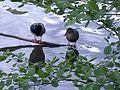Pfaffensee im Naturschutzgebiet Rotwildpark bei West-Stuttgart, Baden-Württemberg.jpg