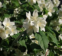 Philadelphus flower 2021 G1.jpg