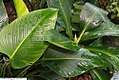 Philodendron Rojo Congo 2zz.jpg