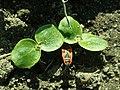Phlomis russeliana 2019-04-16 0956.jpg