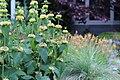 Phlomis russeliana IMG 0071.jpg