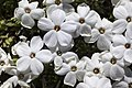 Phlox condensata - Flickr - aspidoscelis (2).jpg