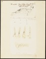 Phoca cristata - 1700-1880 - Print - Iconographia Zoologica - Special Collections University of Amsterdam - UBA01 IZ21100143.tif