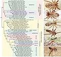 Pholcidae (10.3897-zookeys.789.22781) Figure 6.jpg