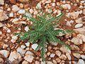 Phyllanthus maderaspatensis 2.jpg