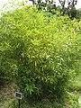 Phyllostachys bambusoides f castillonis2.jpg