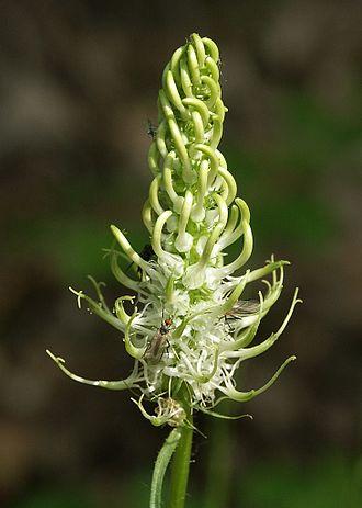 Phyteuma spicatum - Phyteuma spicatum
