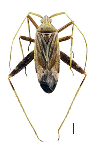 Phytocoris varipes.png