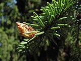 Picea-omorika-serbian-spruce-0a.jpg