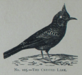 Picture Natural History - No 105 - The Crested Lark.png