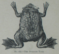 Picture Natural History - No 187 - The Surinam Toad.png