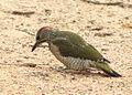 Picus viridis sharpei 103.jpg