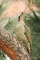 Picus viridis sharpei 111.jpg