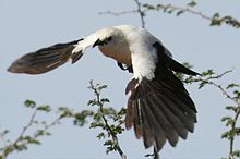 Pied babbler in flight.jpg