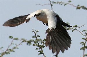 Pied babbler in flight.jpg