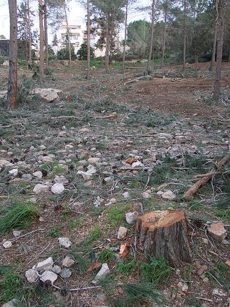 דילול ביער ירושלים