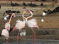 PikiWiki Israel 53082 wildlife animals - flamingo.jpg