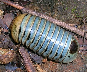 Pill millipede - A giant pill millipede from India.