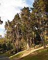 Pinar en el parque nacional Bogotá.JPG