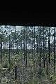 Pine barrens, Nassau. Pinus caribaea (24998672488).jpg