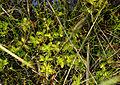 Pinguicula vulgaris subsp. bicolor - folia 01.jpg