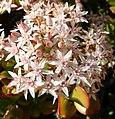 Pink Jade Flowers, Home 3-10-13 (8551525545).jpg
