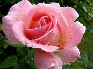 Pink wikipedia a pink rose in the rain mightylinksfo