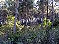 PinosdeRepoblacionysotobosque 2010-4-08 SierraMadrona.jpg