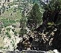 Pinus gerardiana India19.jpg