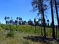 Pinus ponderosa subsp. brachyptera kz07.jpg