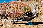 Piquero patiazul (Sula nebouxii), Punta Pitt, isla de San Cristóbal, islas Galápagos, Ecuador, 2015-07-24, DD 66.JPG