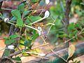 Pisingi (Telugu- పిసింగి) (428374358).jpg