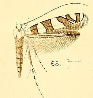 <i>Acrocercops</i> genus of insects