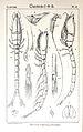 Pl. V. Iphinoe trispinosa.jpg