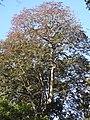 Plant Canarium strictum tree DSCN0108.jpg