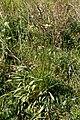 Plantago lanceolata-Plantain lancéolé-20210329.jpg