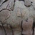 Platane, sycamore tree - panoramio (1).jpg