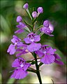 Platanthera peramoena Arkansas.jpg