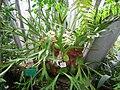 Platycerium alcicorne - Berlin Botanical Garden - IMG 8687.JPG