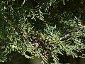 Platycladus orientalis (2560344465).jpg
