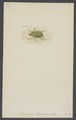 Platycoelia - Print - Iconographia Zoologica - Special Collections University of Amsterdam - UBAINV0274 001 06 0017.tif