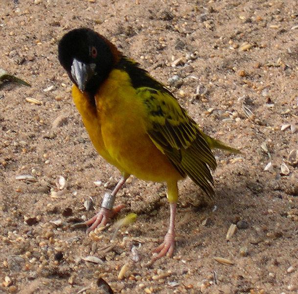 طيور جميلة - طائر النساج روبل - معلومات عامة للطيور