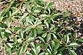 Plumeria obtusa Dwarf Singapore Pink 5zz.jpg